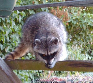 These Racoons are scary