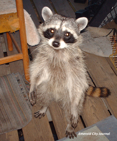 Well.. I admit this Racoon is kida cute