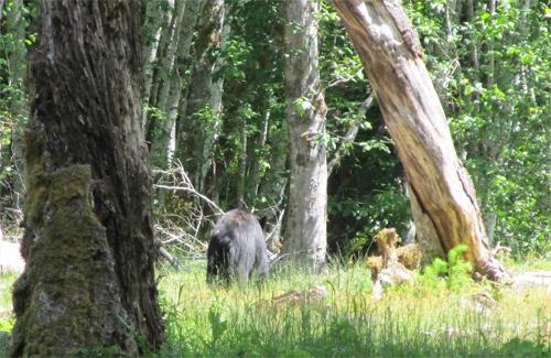 Bear At Enchanted Valley National Park